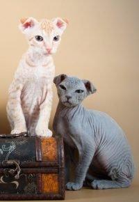 Котята украинского левкоя с разным волосяным покровом