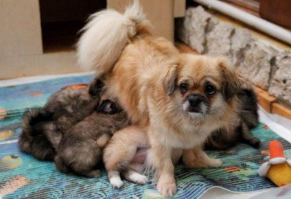 Мама-тибби кормит щенков на простыне