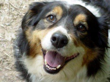 Мордочка английской собаки, смотрящей в камеру