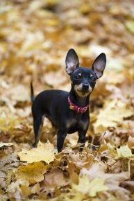 Пражский крысарик в желтой листве