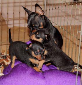 Пражский крысарик со щенками