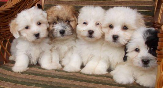 Пять щенков котона