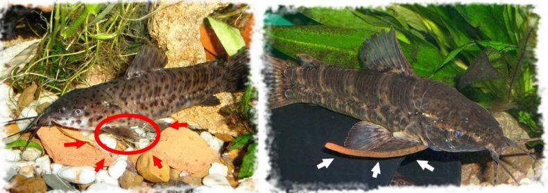 Самка и самец таракатума