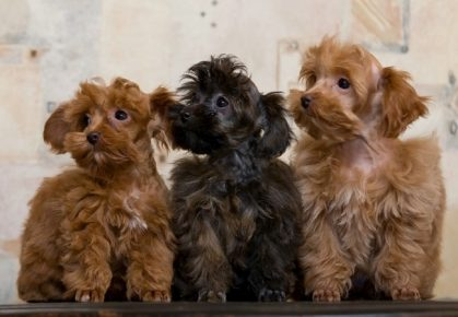 Три щенка орхидеи
