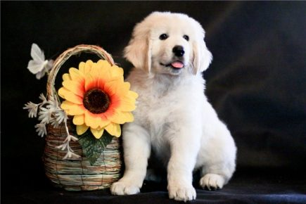 Щенок чувача с цветком