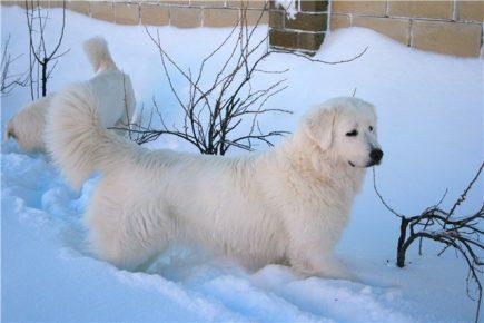 Словацкий чувач в снегу