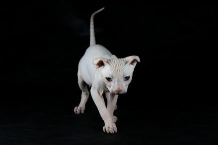 Стандартный котёнок украинского левкоя