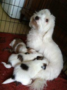 Сука котона де тулеар со щенками