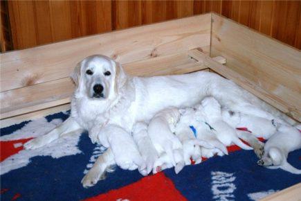 Сука чувача с щенками