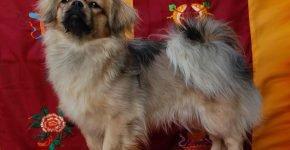 Тибетский спаниель стоит на диване