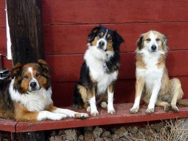 Три английские овчарки (рыжая, трёхцветная и светло-рыжая)