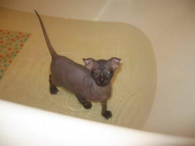 Украинский левкой купается в ванне