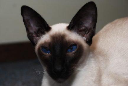 Голубые глаза сиамской кошки