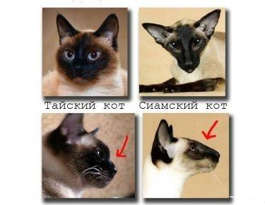 Кошка сиамской породы и тайской