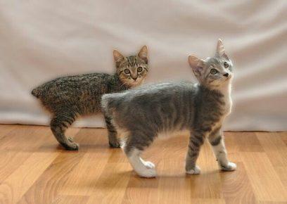 Кошки породы Мэнкс