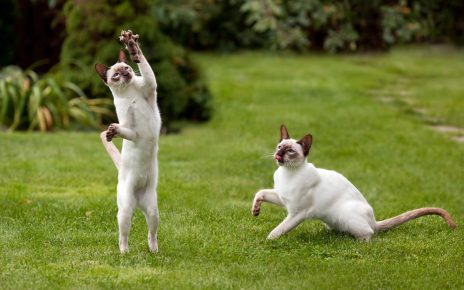 Сиамские котята играют