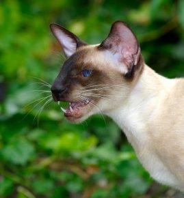 Сиамский кот на фоне зелени