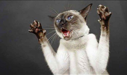 Сиамский кот размахивает лапами