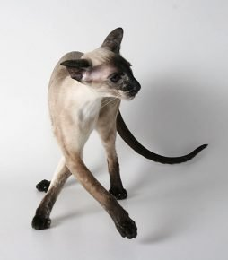 Сиамский кот скрестил лапки
