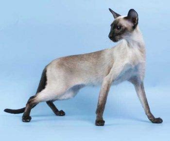 Внешний вид сиамского кота