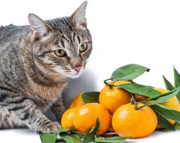 Кот и мандарины