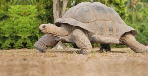 старая черепаха