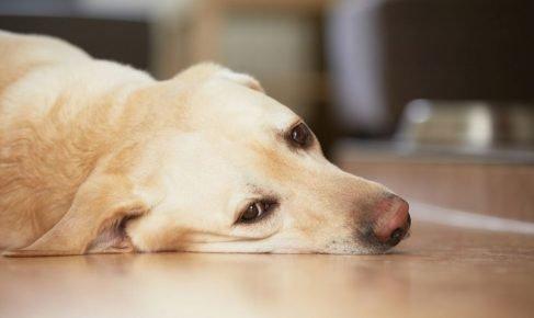 Апатия и слабость у собаки