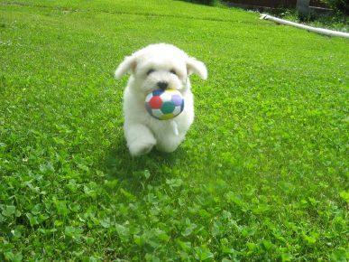 Бишон фризе с мячиком