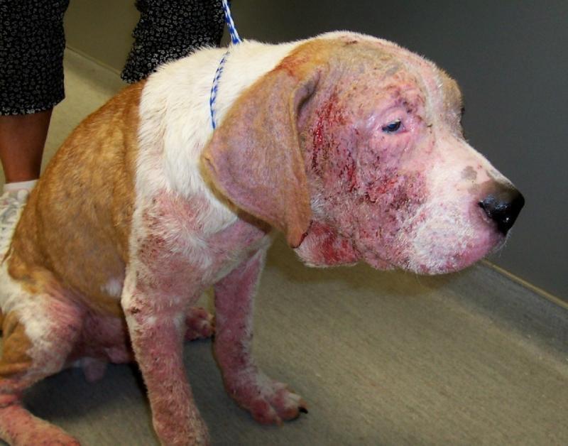 Кожаная болезнь собак в картинках