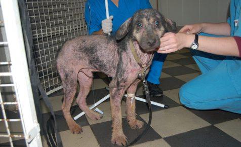 Диагностика демодекоза у собаки