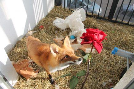 Домашняя лиса в вольере