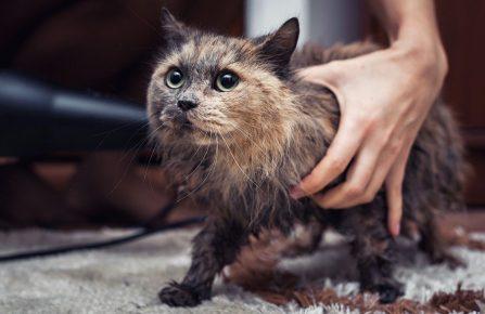 Сушка кота феном