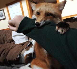 Домашняя лиса кусает хозяина