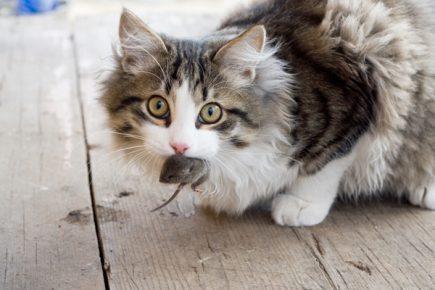 Кошка с мышью во рту