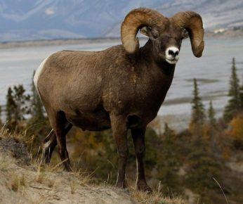 Муфлон — горный баран