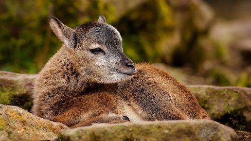 Новорожденный «барашек»