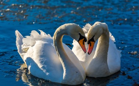 Пара лебедей шипунов
