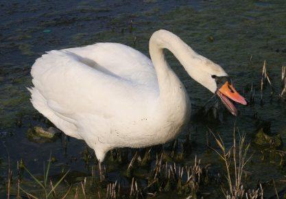 Поведение лебедя шипуна