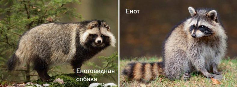 Различия енотовидной собаки и енота