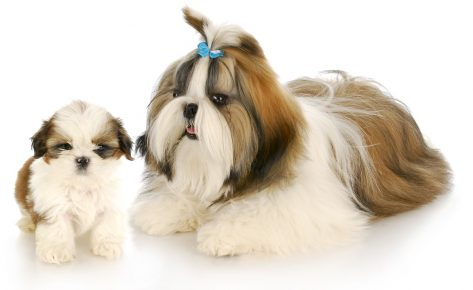 Ши-тцу мать и ши-тцу щенок