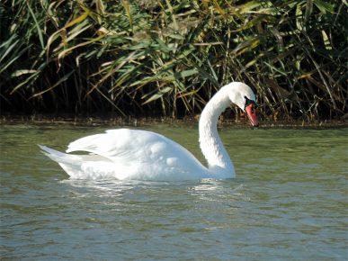 Лебедь шипун плавает