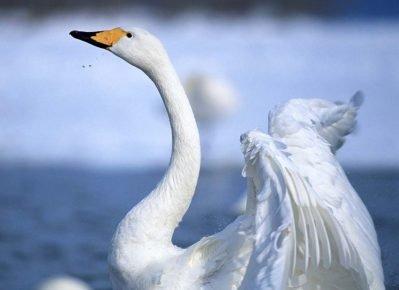 Шея лебедя шипуна