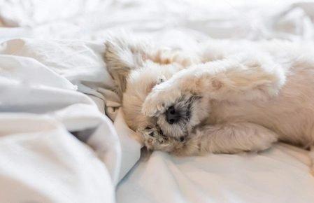 Ши-тцу в кровати