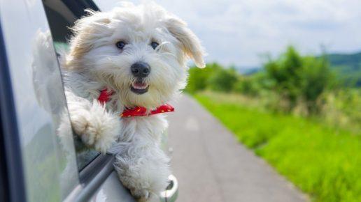 Собака бишон фризе в окне машины