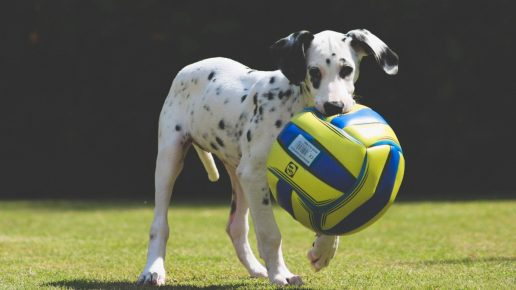 Собака выполняет команду: «Апорт!»
