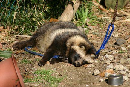 Содержание енотовидной собаки на улице