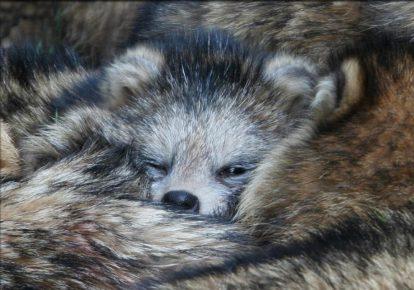 Спячка енотовидной собаки