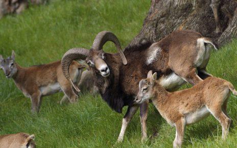 Группа горных баранов
