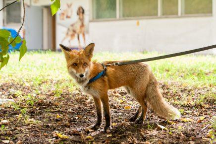 Выгуливание домашней лисы