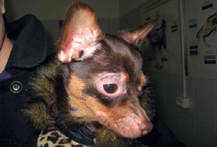 Ювенильный демодекоз у собак